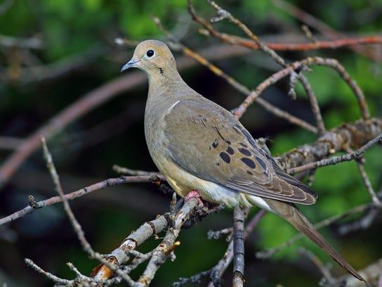 Mourning Doves Not Turtle Doves For Christmas In Utah