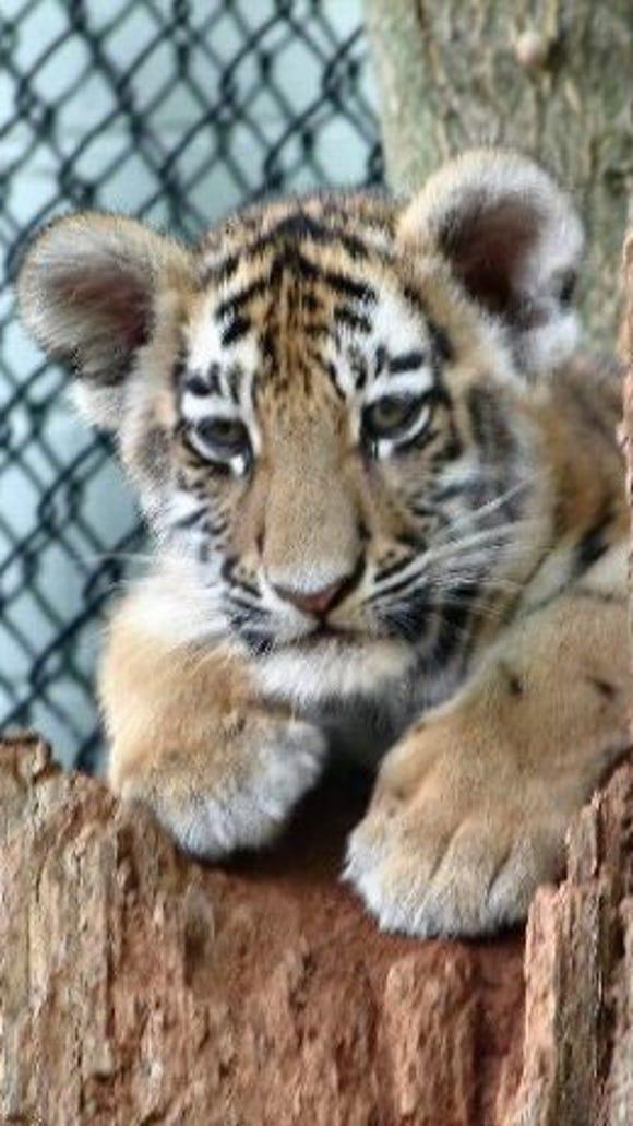 tiger-cub-in-a-tree-2