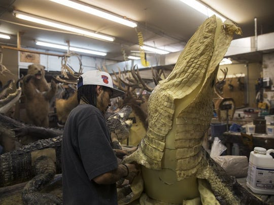 Thomas Dempsey, 27, of Naples, pins the skin to an alligator molding at Skin and Scales Taxidermy on June 28, 2016 in Naples, Florida. Busy year-round with various specialty services for animal trophies, the full service taxidermy shop is currently working on over 250 different alligator trophies.