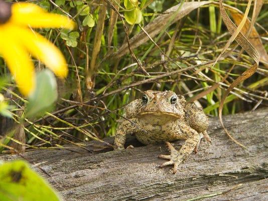 636090198612476934-Woodland-Frog.jpg