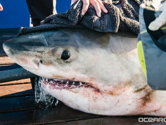 The 11 foot, 960 pound great white shark Yeti was tracked
