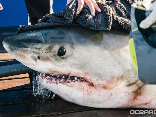 The 11 foot, 960 pound great white shark Yeti was tracked off the coast of Rehoboth Beach and Assateague Island between Nov. 16-18.