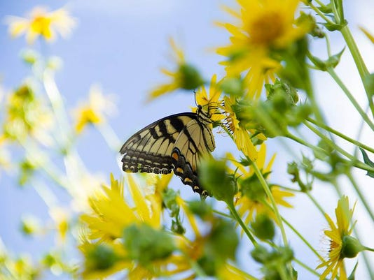 636222600665217248-Butterfly-Ripples-021217.jpg