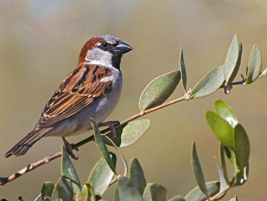 636245071435985704-House-Sparrow-male-E.-Wilson-NPOL.jpg