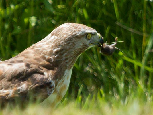 636482563620208946-Red-tailed-Hawk-Eating-Mouse.jpg
