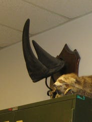 This rhino horn was on display in the University of