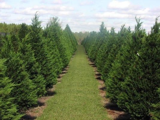 Christmas Tree Field 1