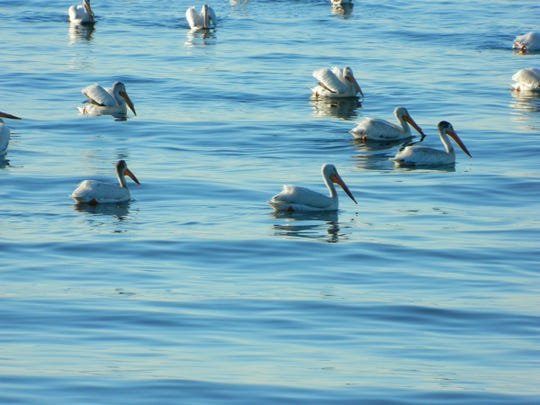 An abundance of non-native fish, improved water quality and suitable nesting on islands has allowed colonial waterbirds like the white pelican to return to Door County.
