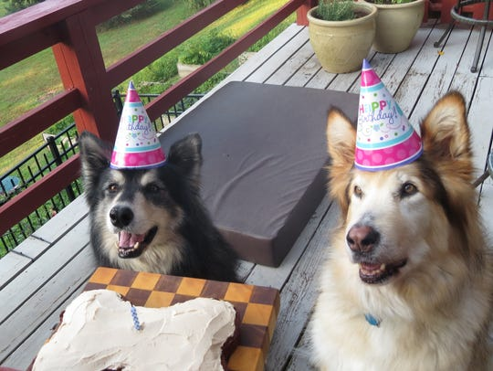 Gus and Hercules wait for a piece of a new dog birthday