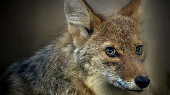 Some think the coyotes around the Valley are a coyote-wolf