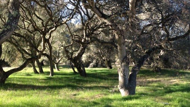 Oak meadow at Fort Ord National Monument, springtime.