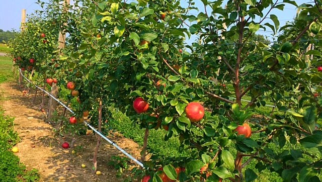 Wickham Farm planted its first apple trees in 2014.