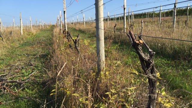 Coloma wine-grape farmer Joe Herman is removing some varieties from his vineyard.