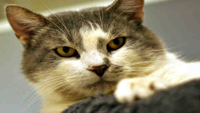 Alfonso will do best in a home where he can be the only cat or can be with other FIV+ cats.