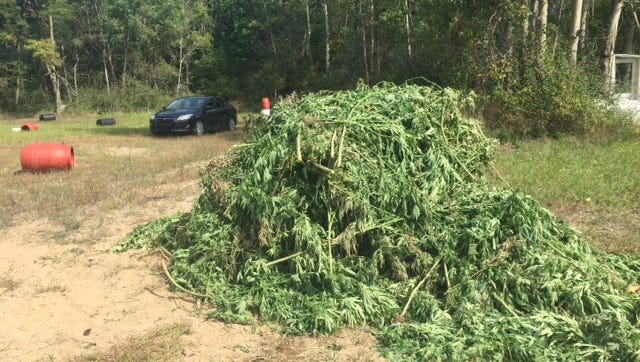 More than 1,500 marijuana plants were collected and later destroyed in Calhoun County.