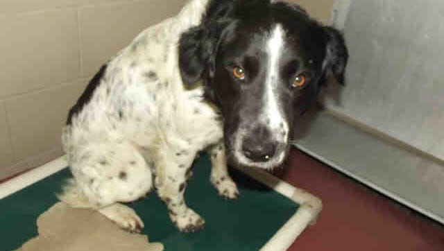 Ranger, ID 159791, is a 1-year-old male border collie mix who's at been Rutherford County Pet Adoption and Welfare Services since Nov. 2.