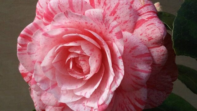 Iconic plants of the South, such as this Camellia japonica Roma Risorta, will be highlighted and sold at the local symposium scheduled for February 13.