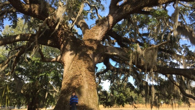 Sprawling live oaks are a distinctive part of the landscape in Tallahassee.