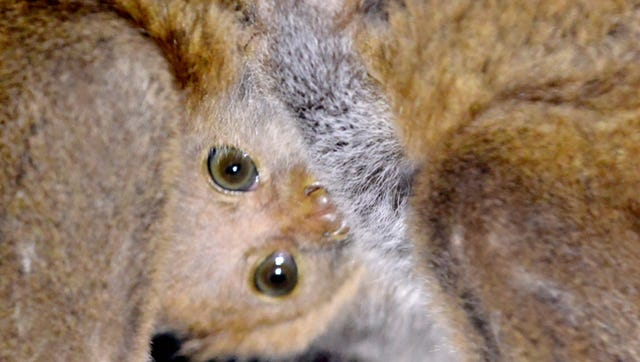 Otto the potto hides out under mother, Mosi.