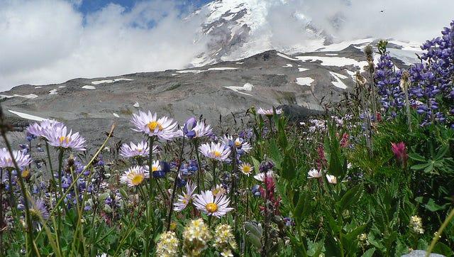 Mount Rainier's Wildflowers_credit NPS Photo by Jasmine Horn