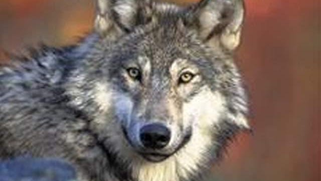 The U.S. Fish and Wildlife Service said it will conduct an investigation after a forensics analysis confirmed that an animal killed in April near Kremmling was a gray wolf.