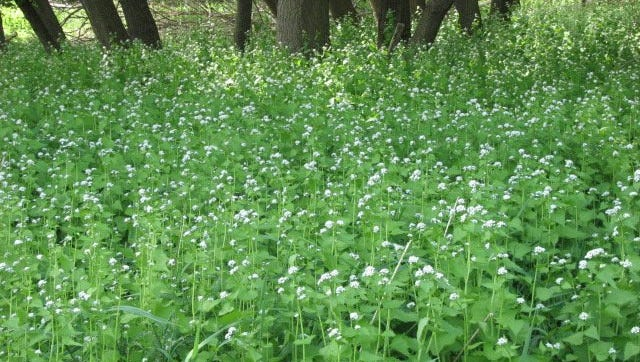 Garlic mustard forms a long flower stock clustered with tiny white flowers.