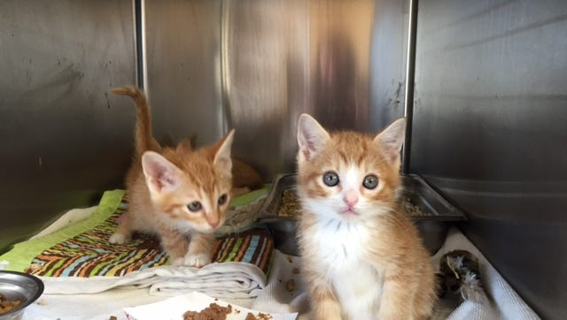 """Two kittens in their kennel at the Palm Springs Animal Shelter on May 25, 2016. The shelter is currently experiencing a """"kitten boom,"""" and about 250 kittens have come to the shelter since April."""
