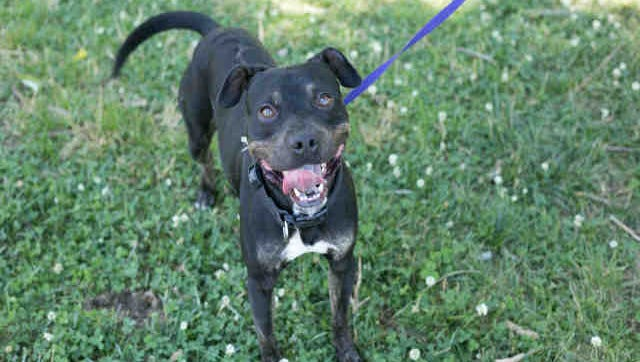 Peppino, ID A135681, is a 3-year-old female black and brown brincle pit bull mix. He's been at the shelter since May 27.