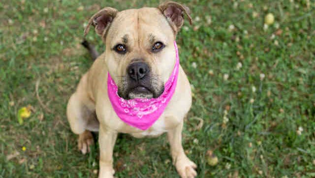 Star, ID A164406, is a 5-year-old spayed female fawn and white American bulldog mix. She's been through agility training, loves to fetch and needs lots of hugs.
