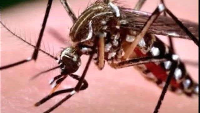 Mosquito - Zika