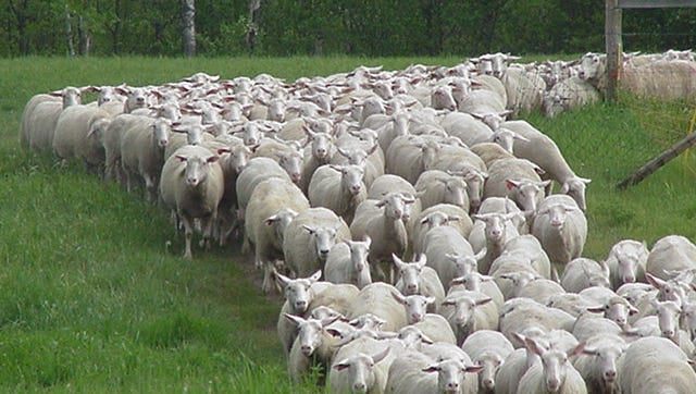 Current Spooner dairy sheep ewes