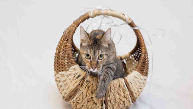Raven, ID A167221, is a 2-year-old spayed brown tabby shorthair who has been at the shelter nearly a month.