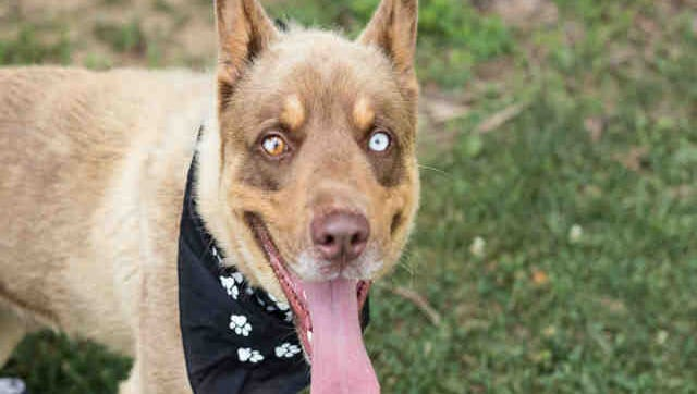 Teddy Bear, ID A166891, is a neutered brown and tan Siberian husky and Catahoula leopard hound mix who is about 2 years old. He's been at the shelter more than three weeks.