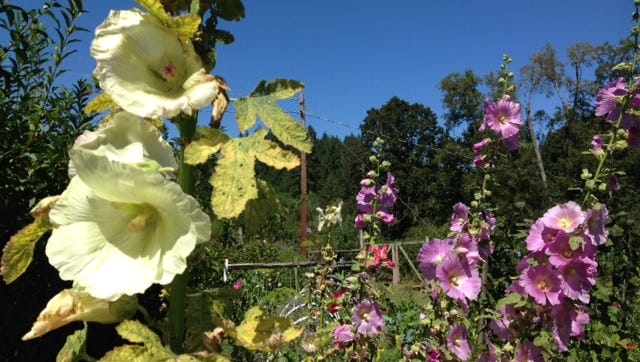 Hollyhocks are not always the same color as their parents. These Siberian hollyhocks are the offspring of rose red parents. Other colors possible are pink, apricot and dark pink.