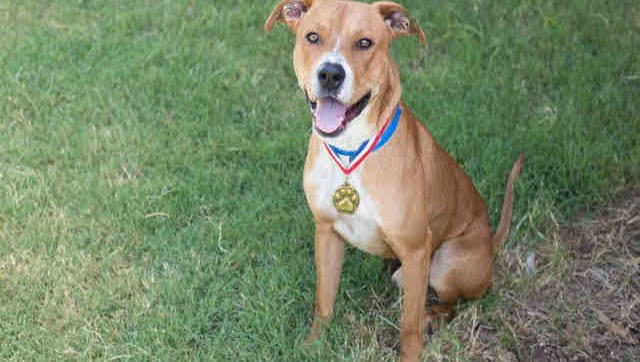 Shot Gun, ID A167464, is a neutered red and white Labrador and American Staffordshire terrier mix. He's been at the shelter more than a month.