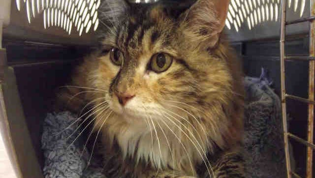Meringue, ID A168198, is a 5-year-old cream-colored Labrador Patti, ID  A167817, is a 4-year-old marbled Maine Coon-mix feline.
