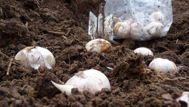 Plant bulbs of spring blooming flowers in the fall.