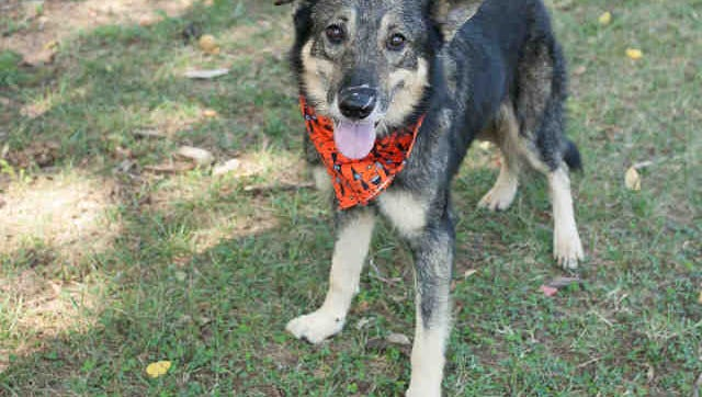 Amadeus, ID A168511, is a neutered German shepherd mix who is around 7 years old. He's been at the shelter almost a month.