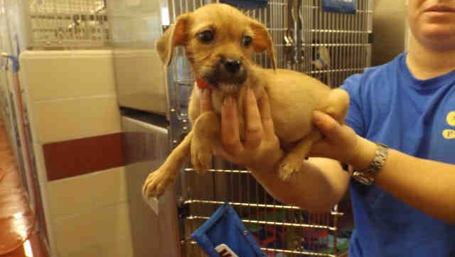 Name: Audrey  ID: A168754  Gender: Female  Breed: Shih Tzu Mix  Age: 2 months  Brought to Shelter: 10/5/2016