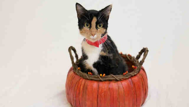 Patches, ID A169744, is a 2-year-old calico.