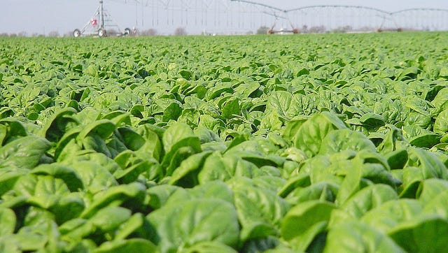 Unusually warm weather hasn't been ideal for fall and winter crops including spinach fields like the one pictured here but have extended the growing season for spring garden varieties such as squash and peppers.