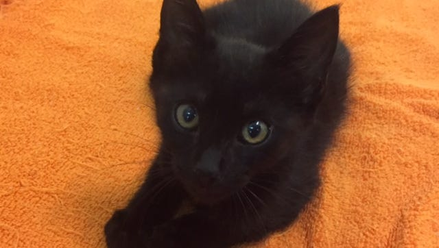 I'm Jet, a kitten available for adoption through Caring Fields Felines.