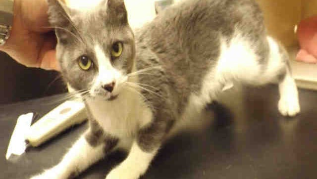 Stormy, ID A170171, is a 1-year-old gray and white feline who has been at the shelter a couple of weeks.
