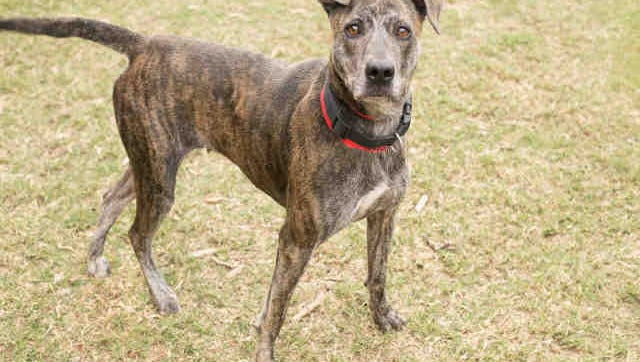 Russian, ID A169863, is a female brindle and white Plott hound mix. She's around 2 years old and has been at the shelter longer than a month.