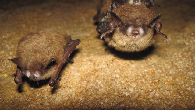 The tri-colored bats shown have white-nose syndrome, a disease that has killed millions of bats in eastern and central United States and parts of Canada.