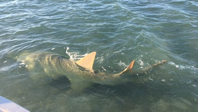 A sawfish estimated to be between 15 and 16 feet long and 500 pounds.