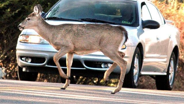 Cars crash into deer more than 4,000 times a day, and it's taking an increasingly deadly toll on people. Last year a record 210 motorists were killed in collisions with animals, mostly deer.