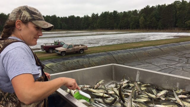 State fish crews collecting extended-growth walleye from the Art Oehmcke State Fish Hatchery near Woodruff.