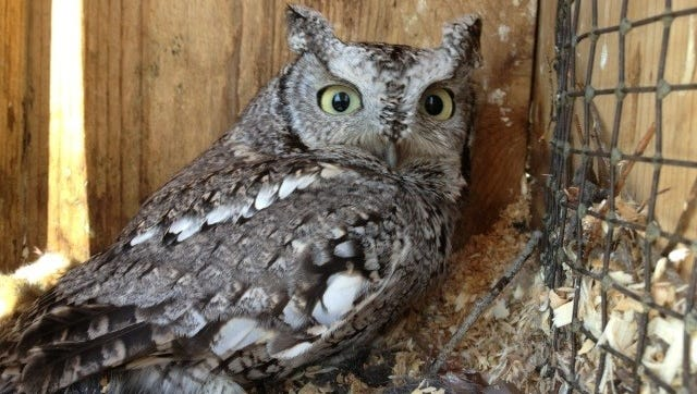 A presentation at Horicon's nest box seminar by Jack Bartholmai will help attendees learn more about screech and barred owls.