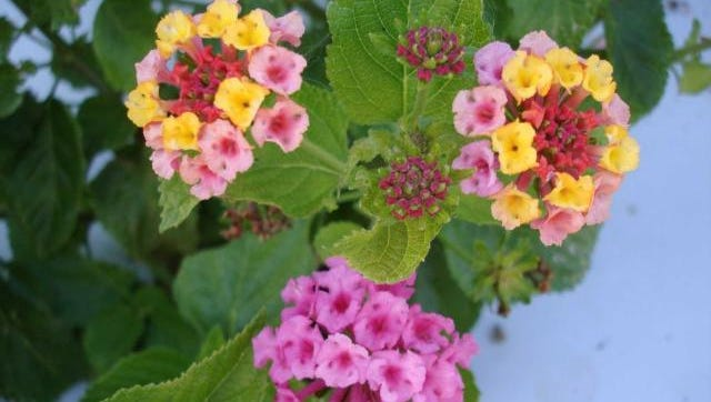 Although lantana has beautiful blooms, non-sterile cultivars are invasive. Be sure to only purchase one of two available non-invasive sterile cultivars developed by UF, 'Bloomify Red' and 'Bloomify Rose'.